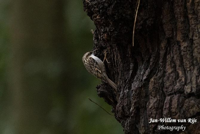 Boomkruiper in bos van Krantz te Warmond