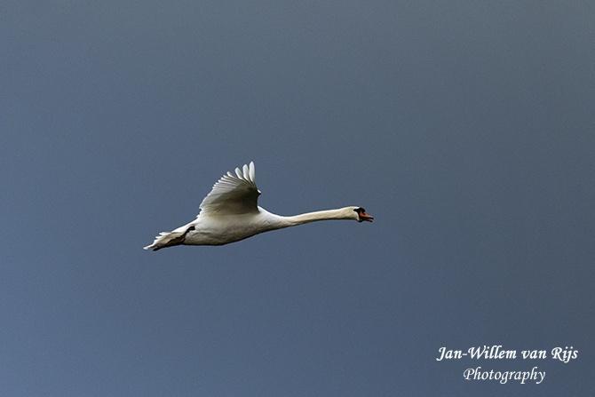 Vliegende knobbelzwaan in de Munnikenpolder te Leiderdorp