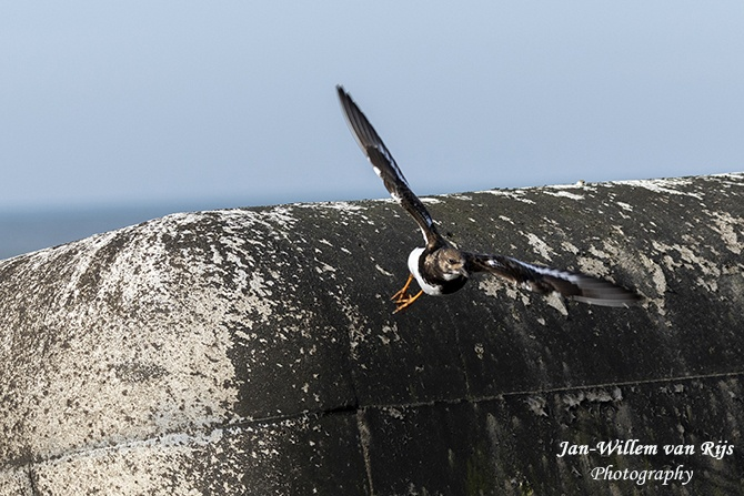 Vogels rond de Pier van IJmuiden