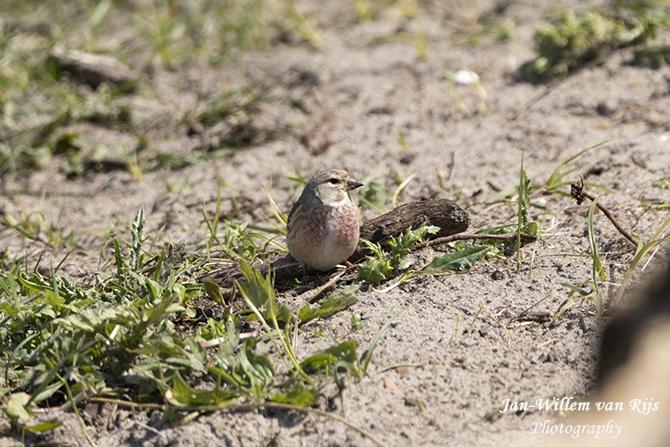 Vogels in Lentevreugd te Katwijk